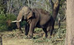 Man killed by wild elephant in Chhattisgarh's Korba