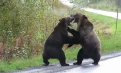 The video shows the two bears growling at each other first