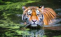 Tiger earlier noticed in MIHAN, now spotted in nearby