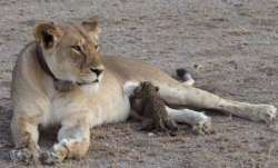 Gujarat: Lioness found dead at Gir sanctuary