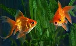 Vastu Tips: Keeping Goldfish at home brings good luck